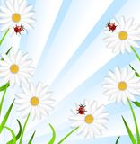 Background with the flowers of camomile and ladybirds Stock Photo