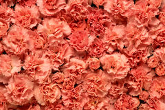 Background of flowers carnations Stock Images