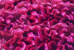 Background of flowers celosia Royalty Free Stock Photography