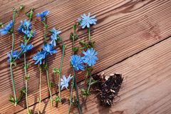 Background with flowers of chicory and root on the old wooden boards. Place for text. Top view. Medicinal plant: Chicory stock photos