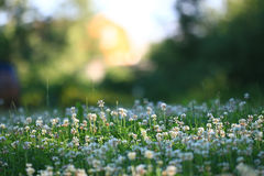 Background with flowers of clover Royalty Free Stock Photos