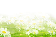 Background flowers daisy and grass with sunlight Stock Images