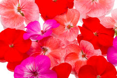 Background of flowers geraniums Royalty Free Stock Image