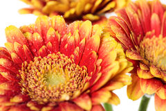 Background of flowers gerbera with dew drops Royalty Free Stock Photo