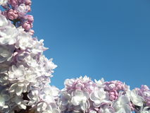 Background of flowers. Background lilac blossoms on blue Royalty Free Stock Image