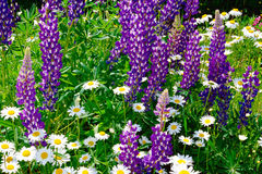 Background flowers meadow Royalty Free Stock Image