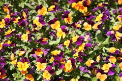 The background flowers is more abstract the drawing a natural flower a viola Royalty Free Stock Photo