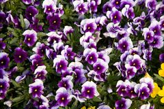 The background flowers is more abstract the drawing a natural flower a viola Royalty Free Stock Photography