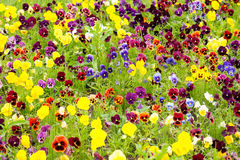 Background on flowers pansy Viola Royalty Free Stock Photo