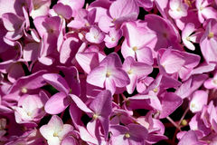 Background of flowers of pink hydrangea close up Stock Images
