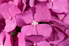 Background of flowers of pink hydrangea macro Royalty Free Stock Photography