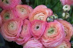 The Persian buttercup royalty free stock image