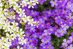 Background of flowers Royalty Free Stock Photography