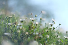 Background : flowers in soft and blur style. Royalty Free Stock Images
