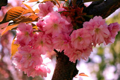 Background with flowers on a spring day. Beautiful flowering Japanese cherry - Sakura. Stock Photos
