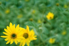 Background with flowers of yellow color Stock Photos