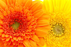 Background of flowers of yellow and orange gerbera Stock Images
