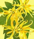Background from flowers ylang ylang Royalty Free Stock Photo