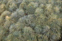 Background fluffy grass Royalty Free Stock Image