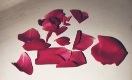Red Rose petals. royalty free stock images