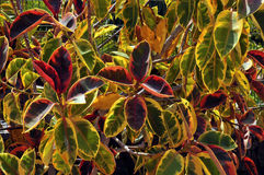 Background of foliage of croton plant Royalty Free Stock Image