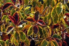 Background of foliage of croton plant Royalty Free Stock Image