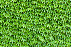 Background of foliage Stock Images