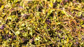 Dry green tea thyme. Background food, texture of dry green tea thyme Royalty Free Stock Images