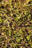 Texture of dry green tea thyme. Background food, texture of dry green tea thyme Royalty Free Stock Image