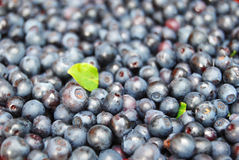 Background with forest berries. Fresh forest blueberries background. Shallow dof Stock Images