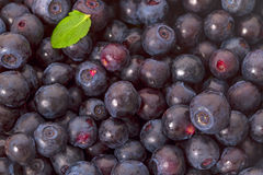 Background of forest blueberries Stock Images