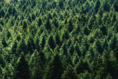 Background of forest with conifer pattern Stock Photos