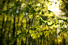 Background of forest nature, green leaves in sunlight Stock Image