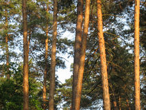 Background of forest pine trees trunks and branches Stock Photo