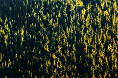 Background of forest with trees pattern at sunset Royalty Free Stock Photos