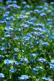Background with forget-me-not Royalty Free Stock Photos