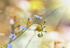 Background with forget-me-not Stock Photography