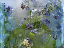 Background of   forget-me-not flower frozen in ice Stock Photos