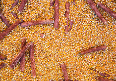Background formed by corn and corncobs already shelled. Stock Images