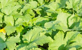 Background of a field of vegetable marrow. Background of fragment of a field with a stems and leaves of the vegetable marrows at summer morning Royalty Free Stock Images