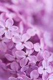 Background from fragrant lilac blossoms Royalty Free Stock Photo