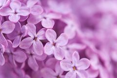 Background from fragrant lilac blossoms Royalty Free Stock Image