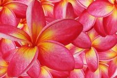 Background frangipani. The red background frangipani royalty free stock images