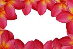 Background frangipani. The red background frangipani stock photography