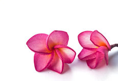 Background frangipani. The texture,background frangipani flower stock photos