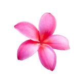 Background of frangipani flower Royalty Free Stock Photos