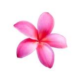 Background of frangipani flower Royalty Free Stock Photos
