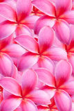 Background of frangipani flower Stock Photo