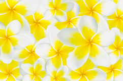 Background of Frangipani, Plumeria, Templetree Stock Images