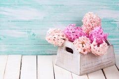 Background with fresh  blush pink hyacinths Royalty Free Stock Image
